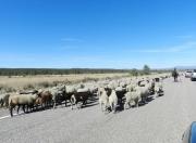 Sheep Drive Hwy64 NM