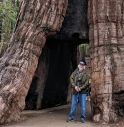Yosemite Mariposa Grove, Tunnel Tree