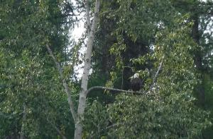 Bald Eagle from Flathead River