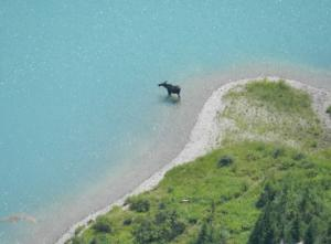 Moose on Grinnell Lake