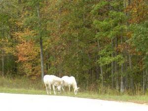 Wild horses on road