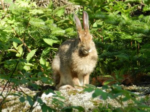 Rabbit on Stoll Trail
